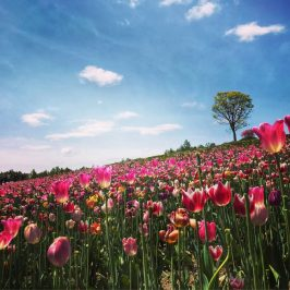 Tulip Flower Field in Shikisai-no-oka