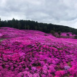 Pink carpet covered the hill with shibazakura